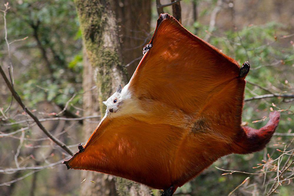 Редкие кадры полета белки-летяги