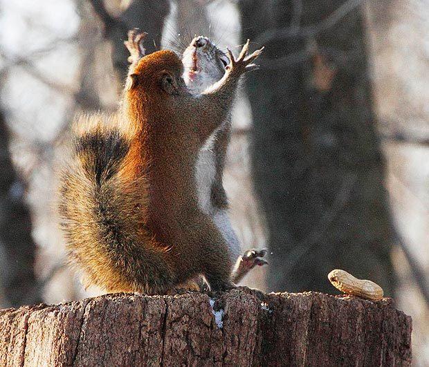 Битва за орех!