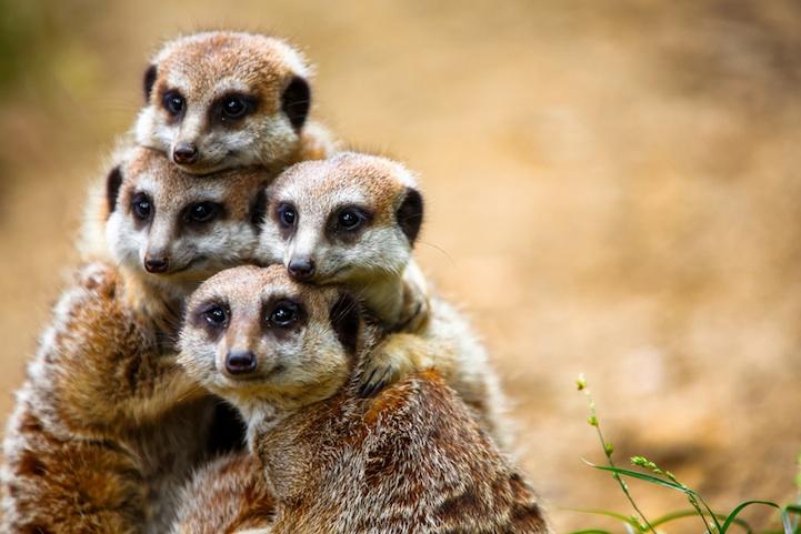 meerkats2