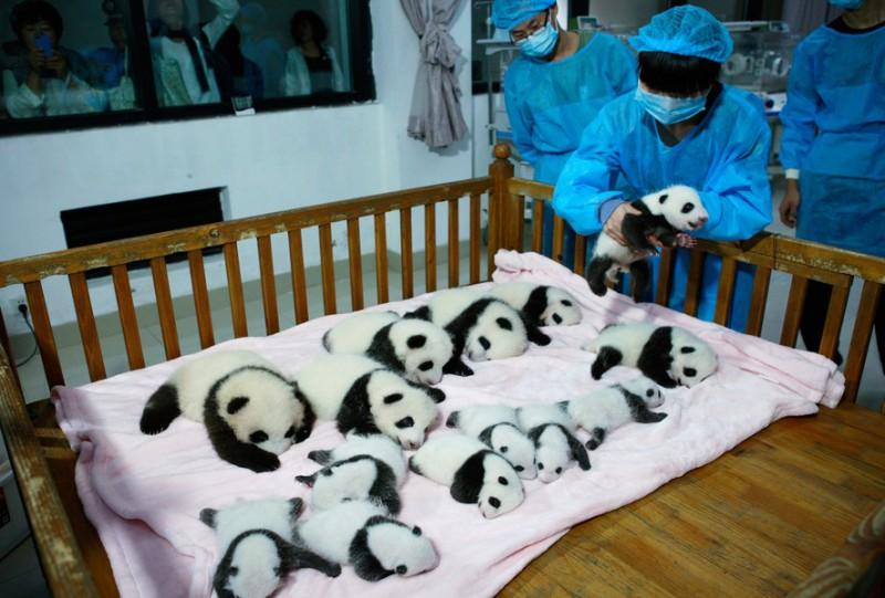 Фото дня: 14 мимишных панд