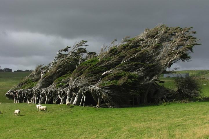windswepttrees01
