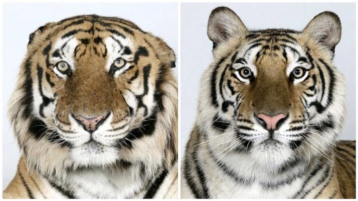 Тигры бывают разными