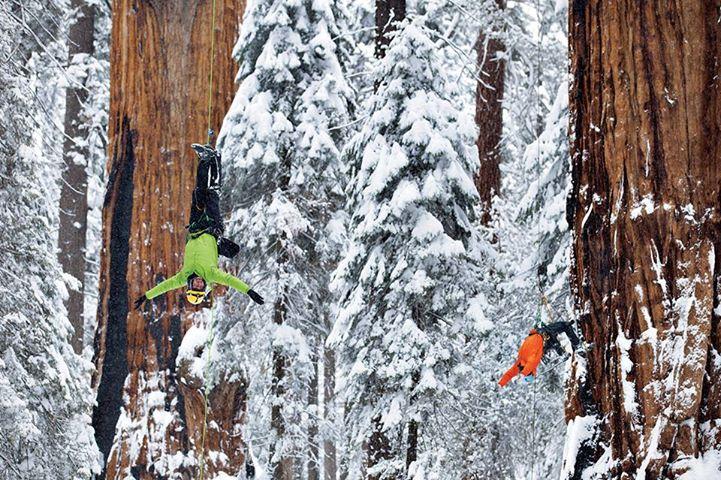 Большой портрет для 3200-летнего дерева от National Geographic