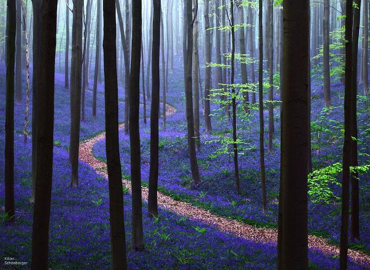 Синий ковер из колокольчиков в лесу Hallerbos
