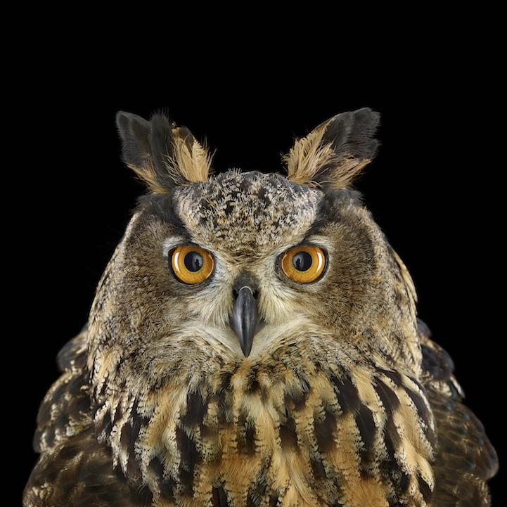 EurasianEagleOwl