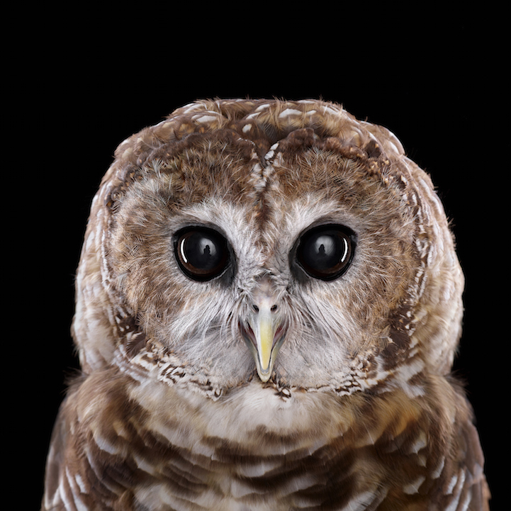 MexicanSpottedOwl