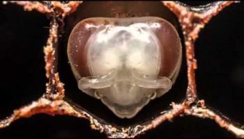 Первые дни из жизни пчелы
