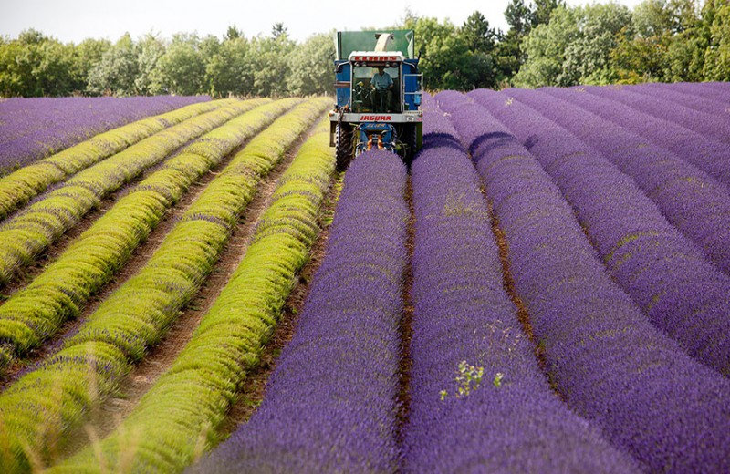 lavender-fields-harvesting-81