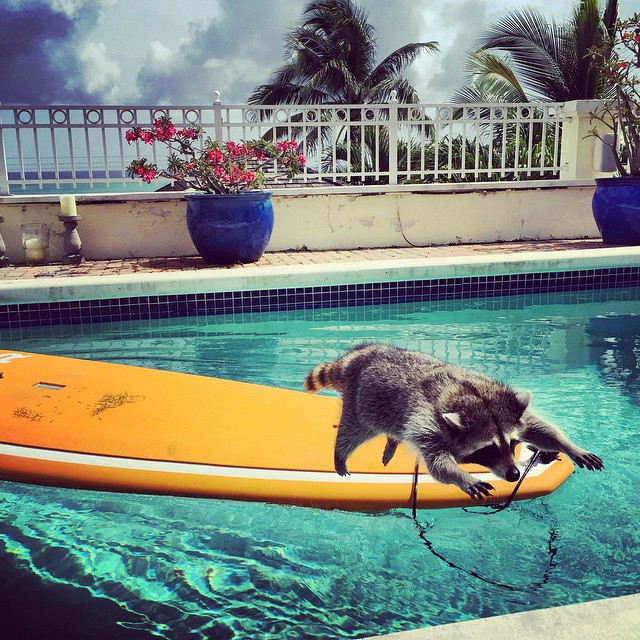 rescued-raccoon-pumpkin-laura-young-29